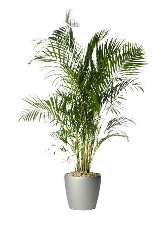 Low maintenance cat safe plants catbox for Areca palm safe for cats